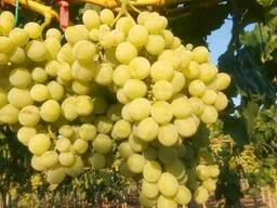 Виноград столовые сорта