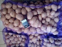 Картофель оптом Беларусь - фото 3
