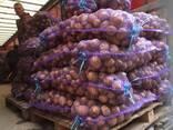 Картофель продовольственный - фото 3