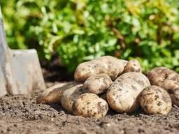 Картофель сорт Бриз оптом