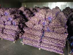 Krompir iz Belorusije плодоовощная продукция - photo 3