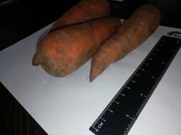 Продајем шаргарепу на велико Казахстану