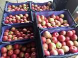 Продаю яблоки оптом! - фото 4