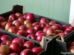 Свежие яблоки от производителя