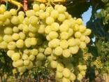 Виноград столовые сорта - фото 1